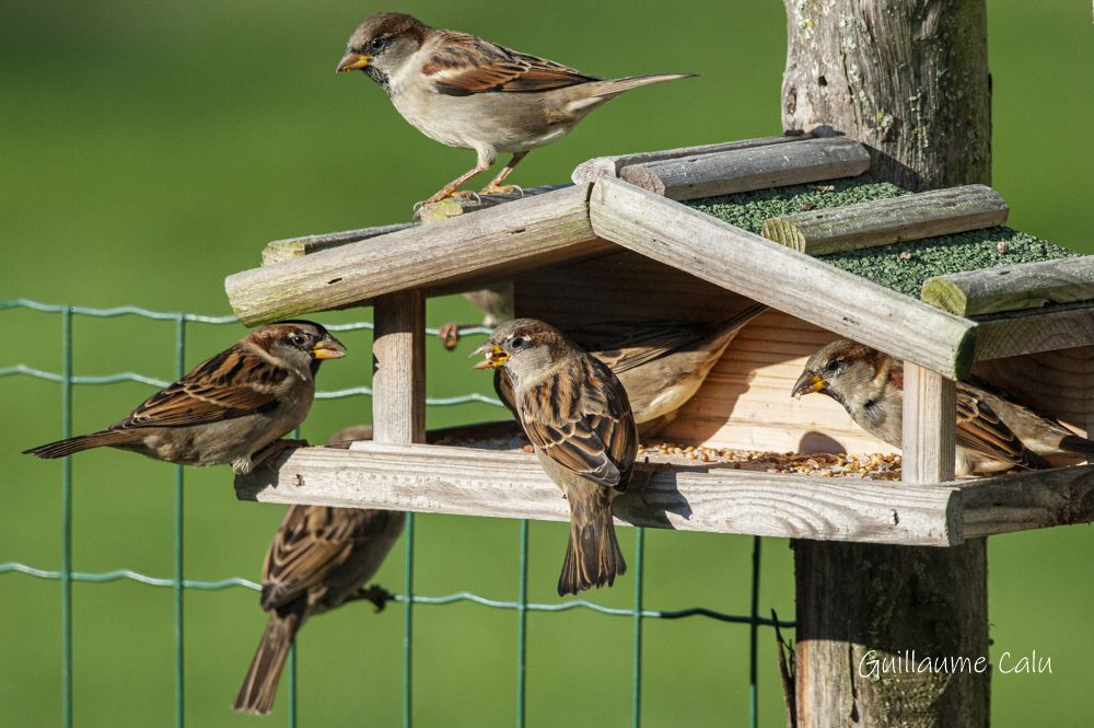 Nourrir les oiseaux à la mangeoire attire aisément les Moineaux domestiques.