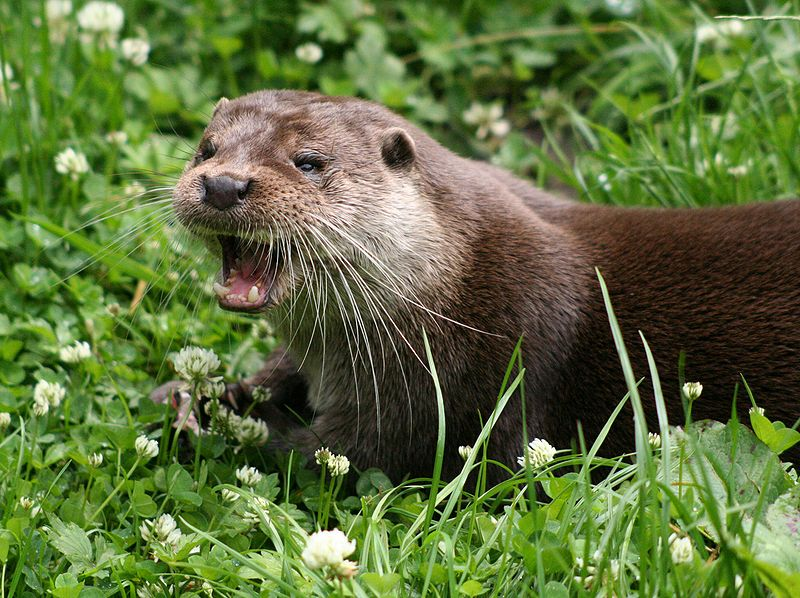 mammifères semi-aquatiques Loutre d'Europe