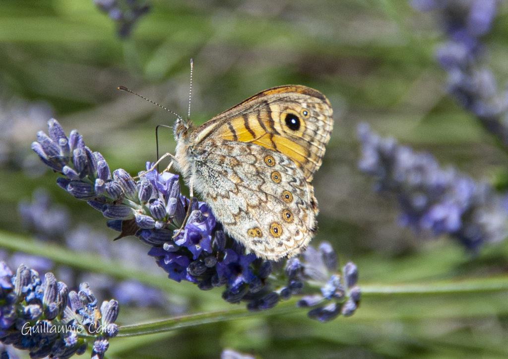 Mégère (Lasiommata megera). Crédits photographiques : Guillaume Calu