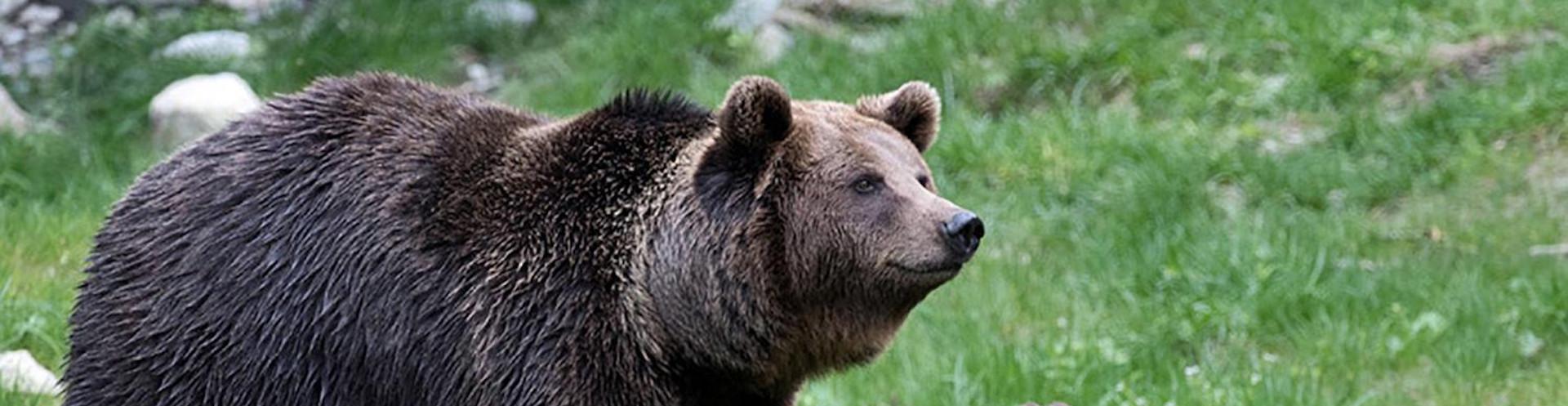 Quel avenir pour l'Ours brun pyrénéen ?