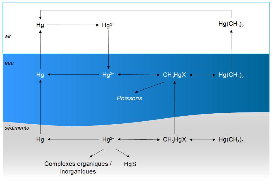 cycle du méthylmercure